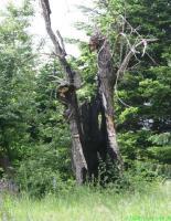 старо дърво
